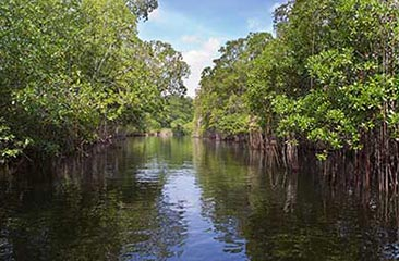 Tropical-thickets-mangrove