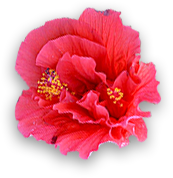 Hibiscus flower -Montego Bay Inns